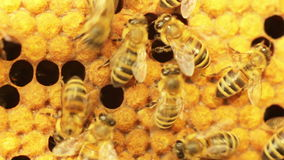 Close-up view of bees in honeycombs. DoF. stock footage
