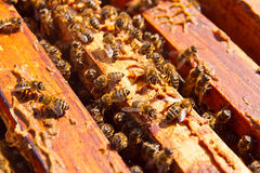 Close up view of the bees swarming on a honeycomb. Royalty Free Stock Photo