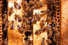 Close up view of the bees swarming on a honeycomb. Royalty Free Stock Images