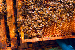 Close up view of the bees swarming on a honeycomb. Stock Images