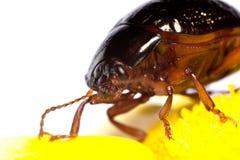 Chrysolina Bankii insect Stock Photos