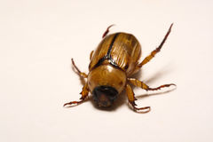 Close up view of the beetle pest - common cockchafer melolontha also known as a May bug or Doodlebug on maple leaf at summer tim Stock Image