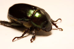 Close up view of Beetles are a group of insects that form the order Coleoptera, in the superorder Endopterygota. Stock Photography
