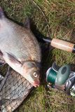 Close up view of big freshwater common bream fish and fishing rod with reel on landing net. Good catch. Close up view of just taken from the water big freshwater royalty free stock photography