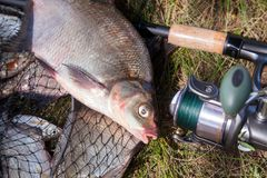 Close up view of big freshwater common bream fish and fishing rod with reel on landing net. Good catch. Close up view of just taken from the water big freshwater stock photo