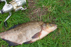 Close up view of big freshwater common bream and fishing rod wit Royalty Free Stock Photography