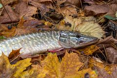 Close up view of big freshwater pike lies on yellow leaves. Freshwater Northern pike fish know as Esox Lucius lying on yellow leaves. Fishing concept, good Stock Photo