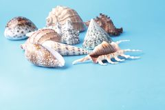 Close up view of big sea shell on plain blue background Stock Image