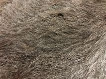 Close up view of black cow fur, real genuine hair texture royalty free stock photo