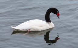 Close-up view of a Black-necked swan Stock Photography