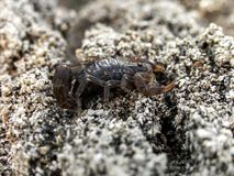 Black rock Scorpion on a rock. A close up view of a Black Rock Scorpion waiting for prey on a rock stock photography