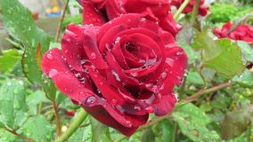 Close up View of Blooming Fully Opened Red Rose in its natural habitat with Water Dew Rain Drops. Close up view of beautiful blooming fully opened red rose in royalty free stock photography