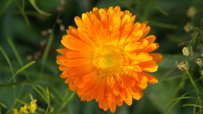 A beautiful blooming orange flower struck by the rays of the setting sun. royalty free stock photography