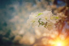 Close up view on blossoming branch of apple tree on sunrise inst Royalty Free Stock Images