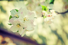 Close up view on blossoming branch of appletree instagram stile Royalty Free Stock Image