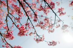 Close up view of blossoming branches of a cherry tree with lovely Sakura flowers blooming under bright sunshine against blue sunny royalty free stock photography