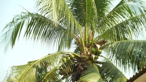 Close-up, view of the bottom of the coconut at the top of the palm, coconut palm. 4k stock footage