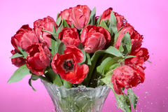 Close up view of bouquet of red fresh spring tulips with water splashes in vase. Royalty Free Stock Photos