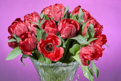 Close up view of bouquet of red fresh tulips with water drops makes many splashes in vase. Stock Image