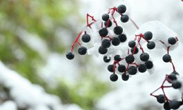 Close up view of branch covered. With snow Royalty Free Stock Photography