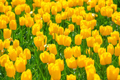 Close-up view of bright beautiful yellow tulips Royalty Free Stock Image