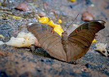 Close up view of brown butterfly stay and eat some fruits on the rock near the forest in the national park of Thailand