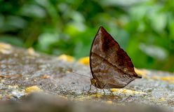 Close up view of brown butterfly stay and eat some fruits on the rock near the forest in the national park of Thailand royalty free stock images