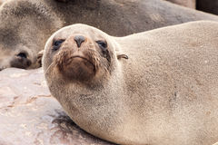 Close-up view of brown fur seal, Cape Cross Colony, Skeleton Coast, Namibia, Africa.  stock photography