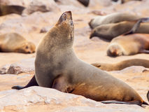 Close-up view of brown fur seal, Cape Cross Colony, Skeleton Coast, Namibia, Africa.  stock photo