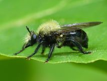 Bumblebee Mimic Robberfly. Close up view of a Bumblebee Mimic Robberfly royalty free stock photos