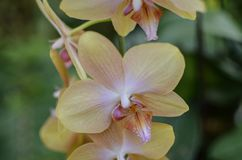 A Close Up of Beautiful Orchids royalty free stock photography