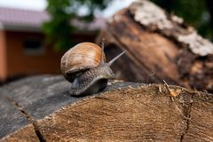 Close up view of Burgundy snail Helix, Roman snail, edible snai. Roman Snail - Helix pomatia. Helix pomatia, common names the Roman, Burgundy, Edible snail or Stock Images