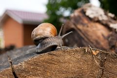 Close up view of Burgundy snail Helix, Roman snail, edible snai. Roman Snail - Helix pomatia. Helix pomatia, common names the Roman, Burgundy, Edible snail or Stock Image