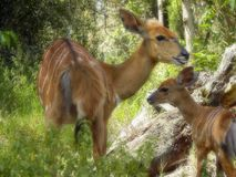 Bushbuck with baby. A close-up view of a bushbuck doe with her baby in the bush Royalty Free Stock Images