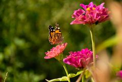 Close up view of butterfly on pink flowers in garden royalty free stock photos