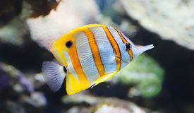 Close-up view of a Butterflyfish Stock Photography