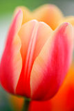 Close-up view on the button of beautiful pink tulip with peach edges Royalty Free Stock Images