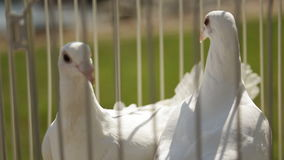 Close up view of cage with white doves located outside. Sitting in same colored forged metal decorative cage well trained birds are prepared to wedding stock video footage