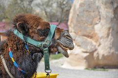 Camel in the Cappadocia in Turkey stock photos