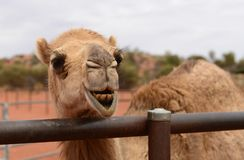 Close-up View of Camel's Head. A close-up view of a camel's head grinding its teeth Stock Photography