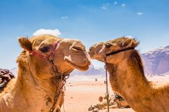Close  up view of Camels, aka the ship of the desert royalty free stock images