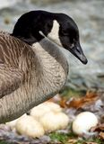 A Mother Canada Goose Keeping A Close Watch On Her Unhatched Eggs. A close-up view of a Canada Goose and a nest of several newly laid eggs stock photo