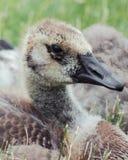Canadian Gosling Side Profile Portrait royalty free stock photos