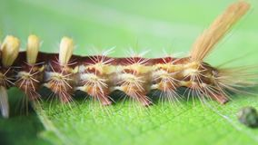 Close up view of caterpillar of Tussock Moth Orgyia Postica stock footage