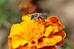 Close-up view of Caucasian bee by hymenoptera Megachile rotundata with wings on orange flower of marigold Tagetes erecta. Close-up view of Caucasian bee stock photos