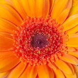 Close up view of a center of orange flower gerbera. Abstract, background Stock Image