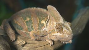 Chameleon. Close-up view of chameleon sitting on the branch stock footage