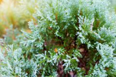Chinese Oriental Arborvitae. Close-up view of Chinese Oriental Arborvitae, with beautiful early morning dew in a garden Stock Image