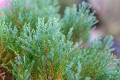 Chinese Oriental Arborvitae. Close-up view of Chinese Oriental Arborvitae, with beautiful early morning dew in a garden Stock Photo