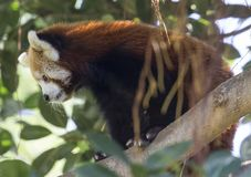 Close up view of a climbing Red Panda Stock Images